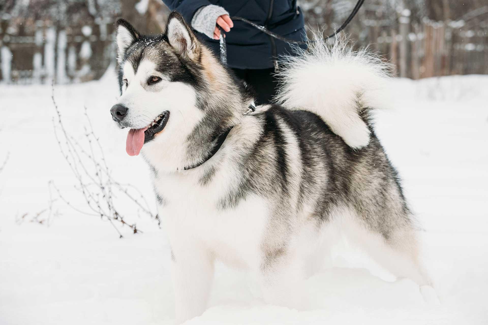 Alaskan-Malamute-Puppies-