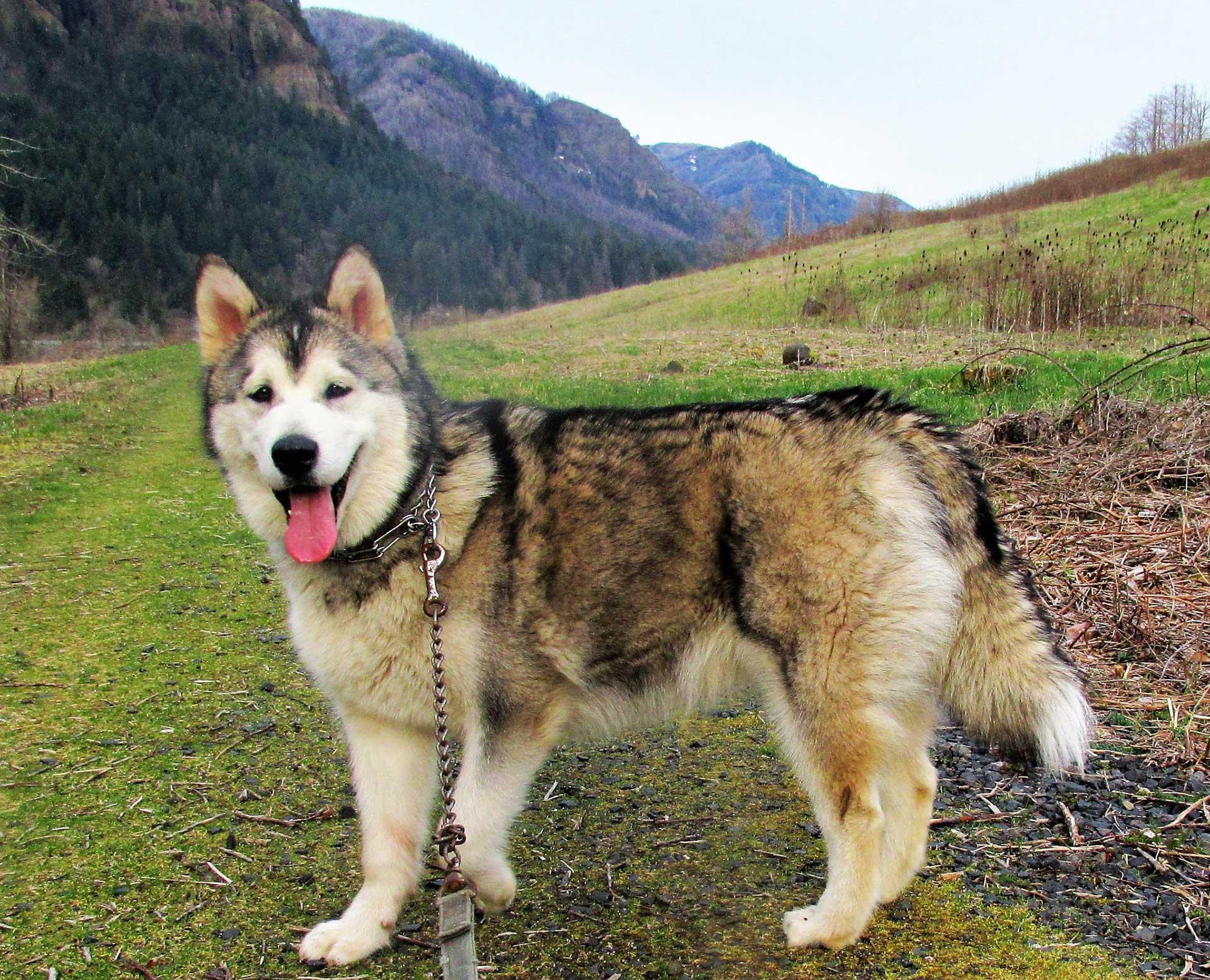 Malamute-dog 2-breed